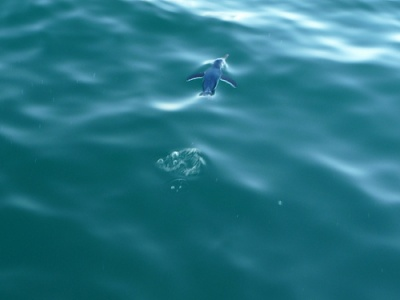 """Pinguino in acqua: dal blog """"il mondo di Carlo"""""""